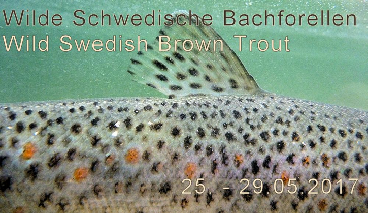 Brown Trout Tour – Wilde Bachforellen in Südschweden