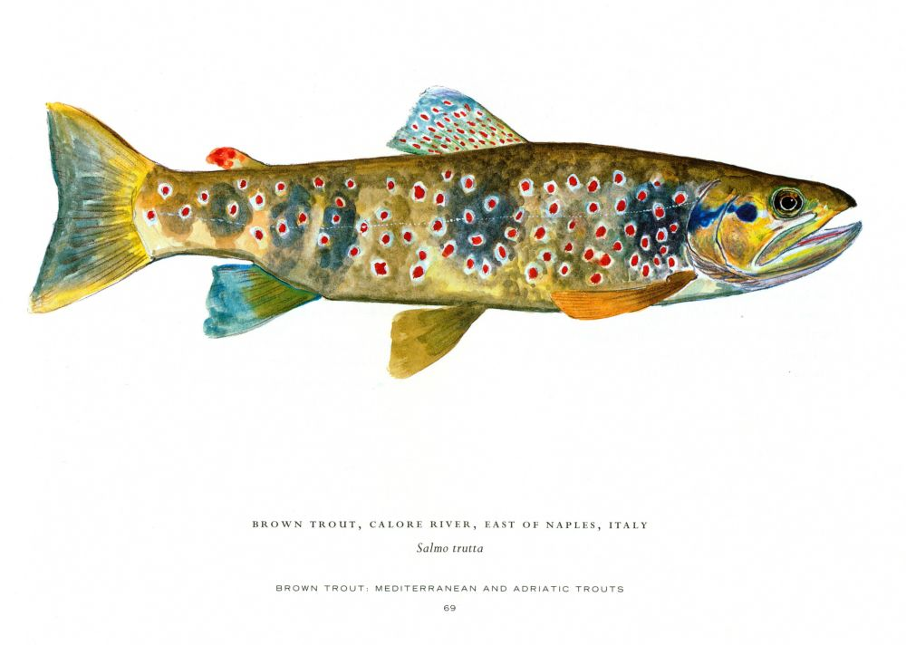 Trout of the world book by james prosek buch10 for Fish on main