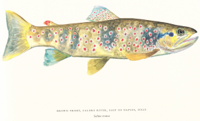 Brown Trout - Salmo trutta - Approved Print