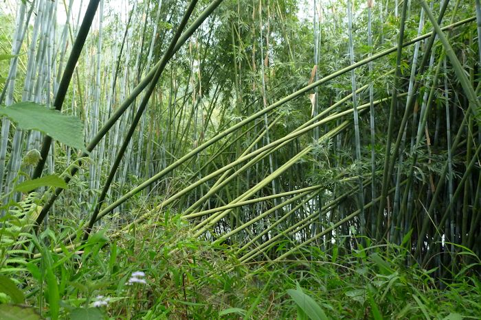 Bamboo - The Plant and its Uses