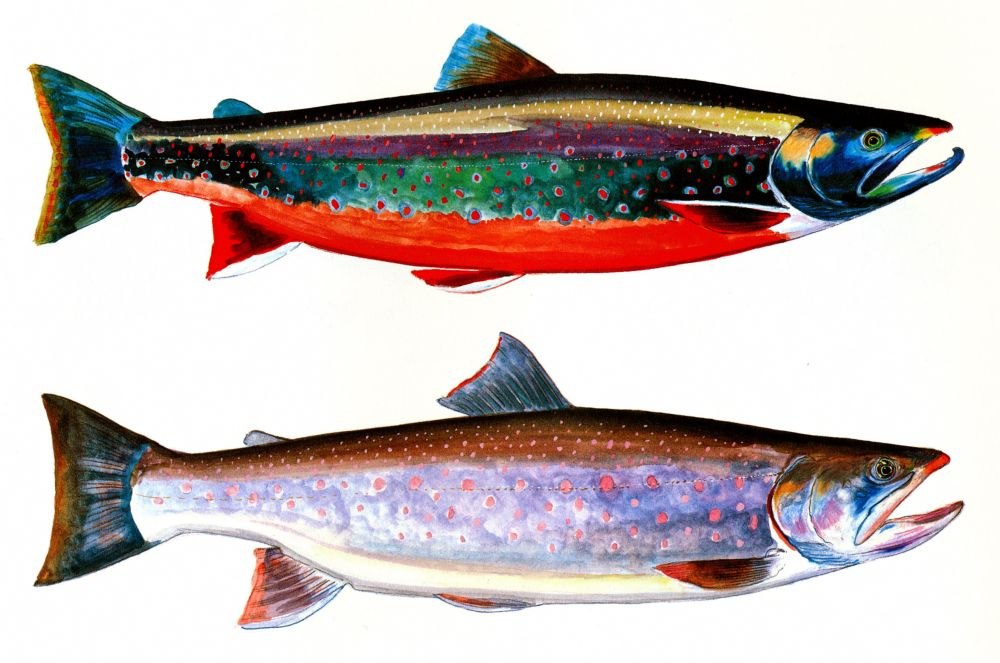 Trout Salmon Culture